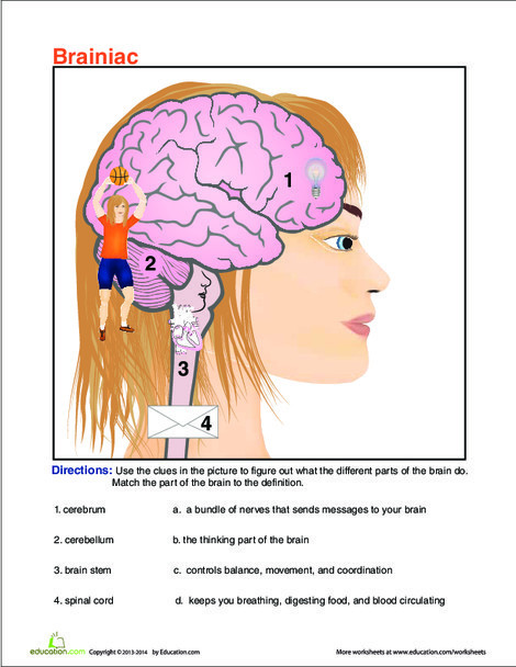 Fifth Grade Science Worksheets: Regions of the Brain