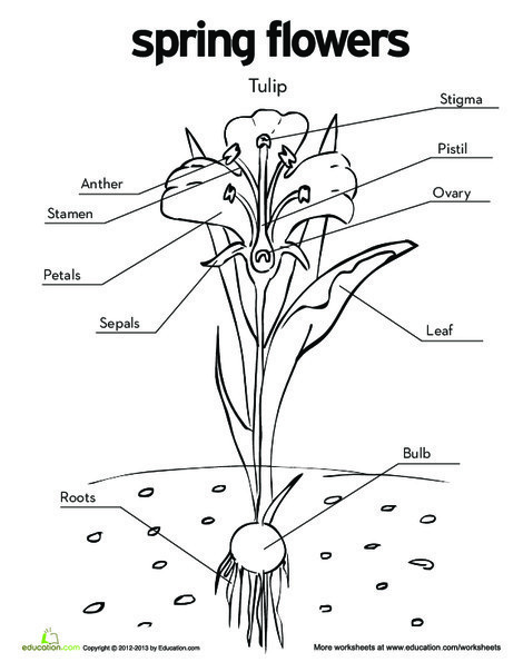 First Grade Coloring Worksheets: Tulip Diagram Coloring Page