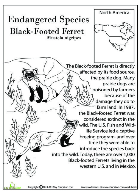 Fourth Grade Reading & Writing Worksheets: Endangered Species: Black-Footed Ferret
