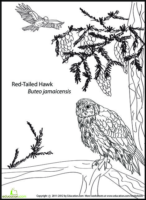 First Grade Coloring Worksheets: Red-Tailed Hawk Coloring Page