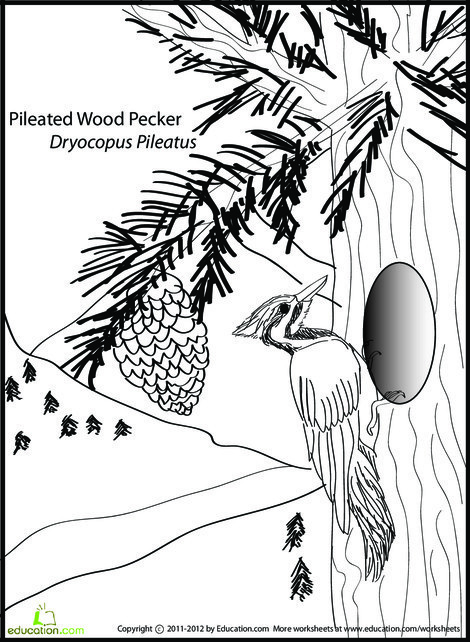 First Grade Coloring Worksheets: Pileated Woodpecker Coloring Page