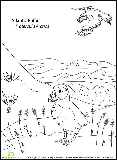 First Grade Coloring Worksheets: Atlantic Puffin Coloring Page