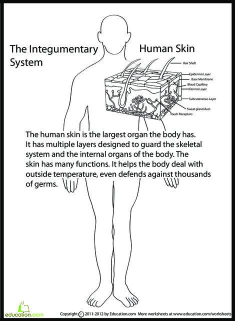 Fifth Grade Science Worksheets: Human Anatomy: Skin