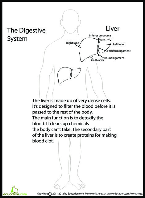 Fifth Grade Science Worksheets: Human Anatomy: Liver