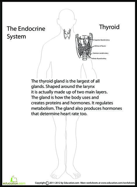 Fifth Grade Science Worksheets: Human Anatomy: Thyroid