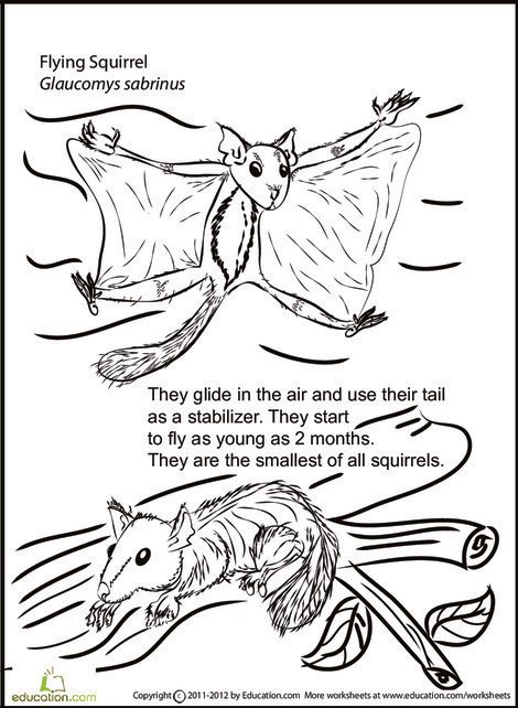 Second Grade Coloring Worksheets: Color and Learn: Flying Squirrel