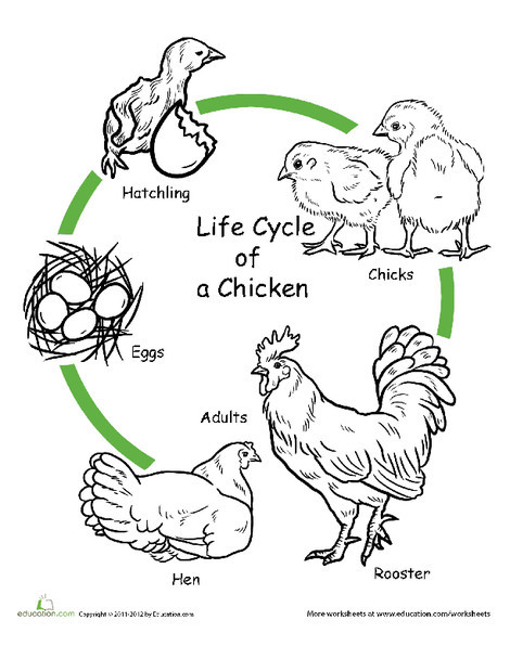 First Grade Science Worksheets: Chicken Life Cycle Worksheet