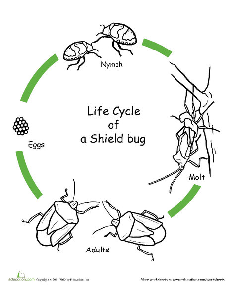 First Grade Coloring Worksheets: Color the Life Cycle: Shield Bug