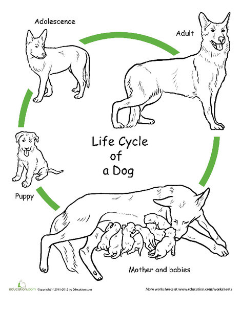 First Grade Science Worksheets: Color the Life Cycle: Dog