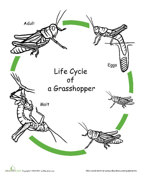 First Grade Coloring Worksheets: Color the Life Cycle: Grasshopper