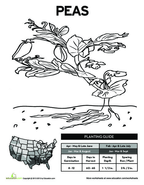 First Grade Science Worksheets: Planting Peas!