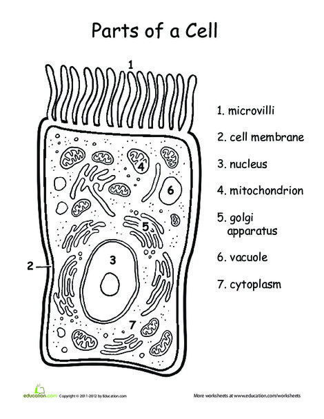 Fifth Grade Science Worksheets: Awesome Anatomy: You're So Cell-y