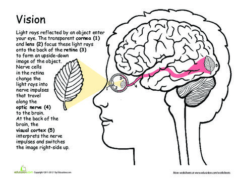 Fifth Grade Science Worksheets: Awesome Anatomy: Vision Precision