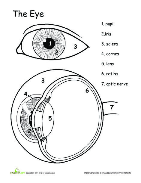 Fifth Grade Science Worksheets: Awesome Anatomy: Eye See
